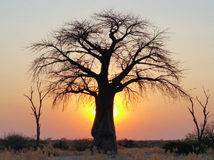 baobab300x225